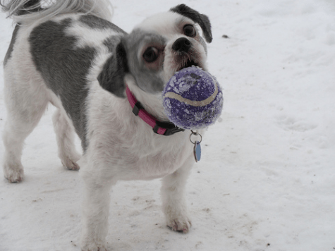 Sadie Shih Tzu outside in the snow with a frosty tennis ball in her mouth