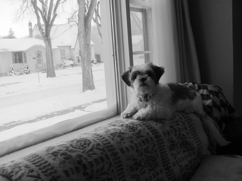 Sadie Shih Tzu in her official snow-spot on the back of the sofa