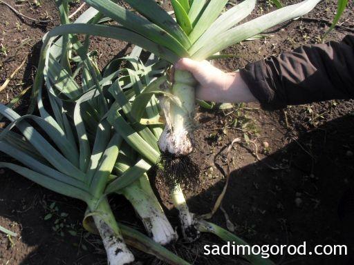 лук порей выращивание 5