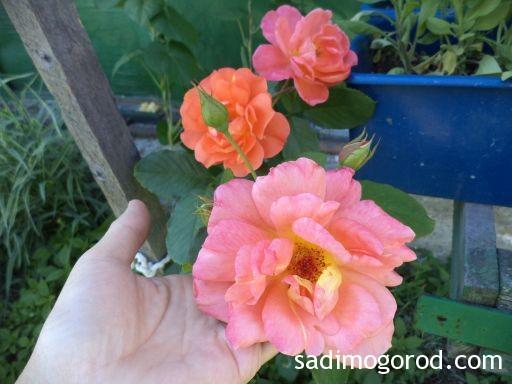 роза вестерленд 9