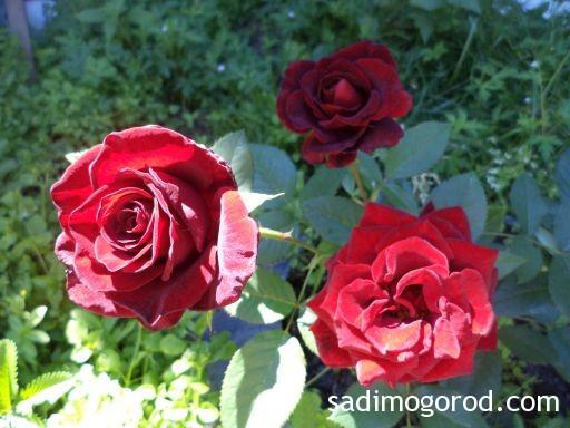 роза вестерленд 10
