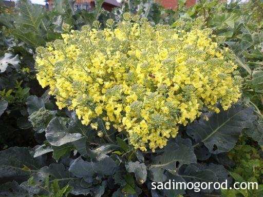 брюссельская капуста выращивание и уход 5