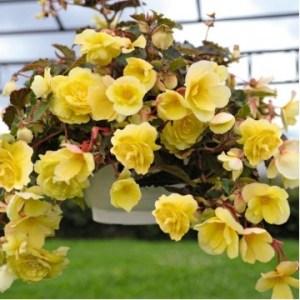 """Многолетние цветы """"Бегония Fragrant Falls Lemon"""""""