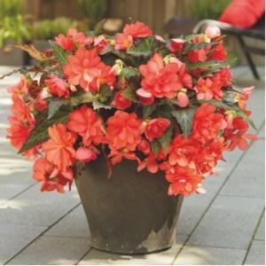 "Многолетние цветы ""Бегония Miss Malibu"""