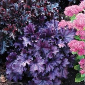 """Почвопокровные растения """"Гейхера Forever Purple"""""""