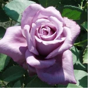 """Роза чайно-гибридная """"Кул Ватер"""""""