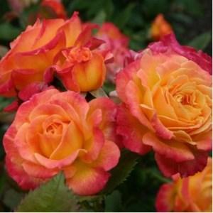 "Роза миниатюрная ""Тайфун"""