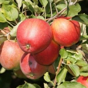 Купить саженцы яблоня боровинка