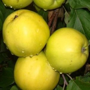 Купить саженцы яблоня Брат Чудного