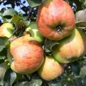 Купить саженцы яблоня Декабренок