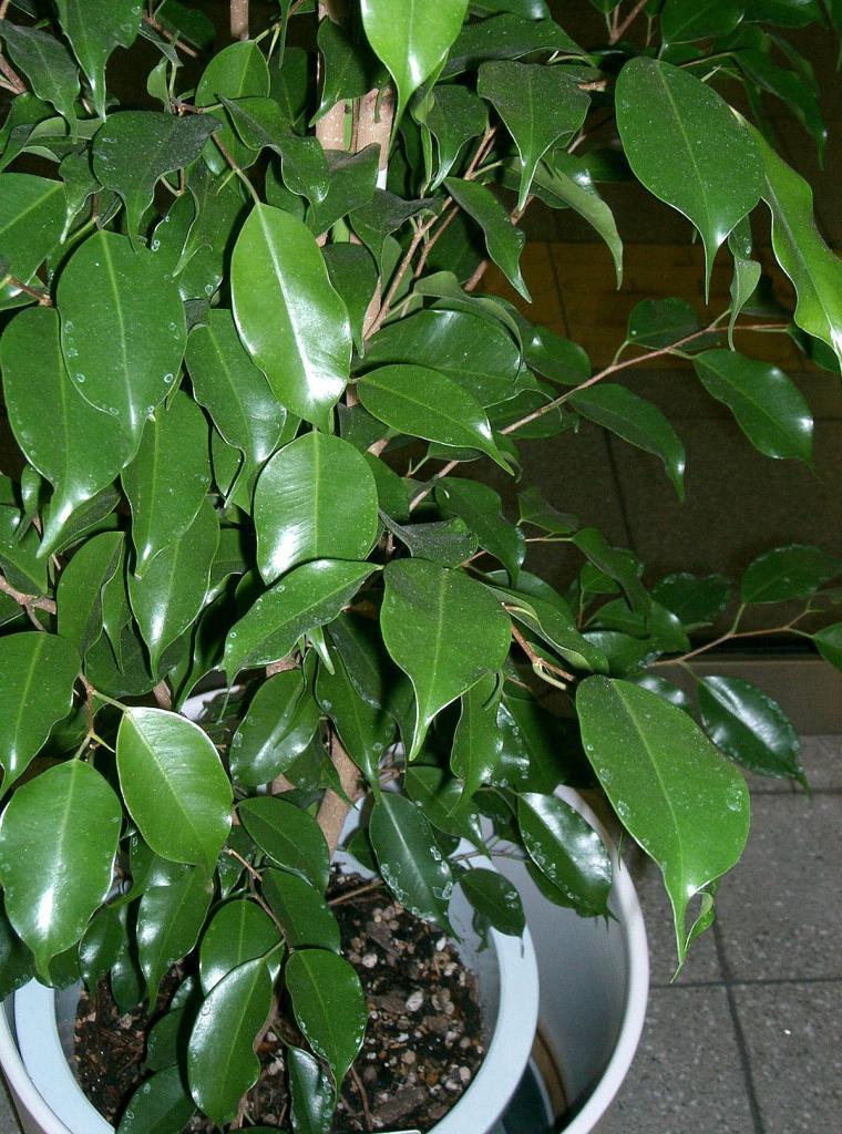 Soorten ficus