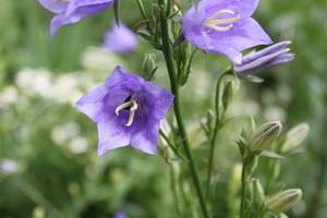 Колокольчики цветы многолетние посадка и уход. Уход за растением. Уход за колокольчиком