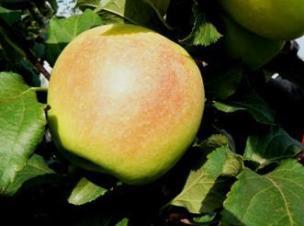 яблоня сорт Заря Алатау