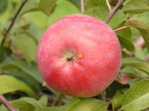яблоня сорт Белорусское малиновое