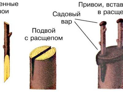 Копулировка, прививка в расщеп и др. верховые прививки