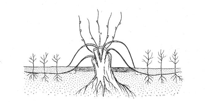 Размножение форзиции 15 фото как правильно размножить форзицию отводками весной и летом Другие способы