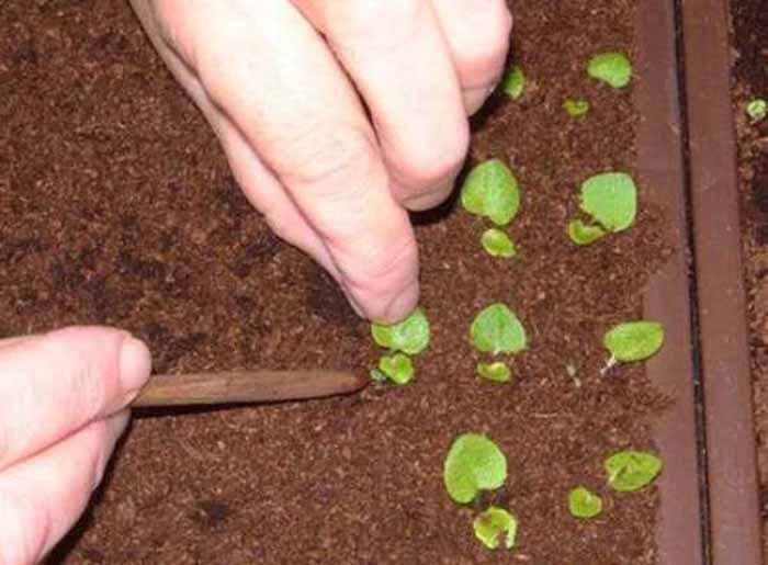 рассада бегонии из семян фото установленному перед