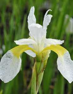 Iris sibirica  echartreuse bounty   also kosaciec syberyjski sadzawka rh
