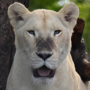 Walk With Lions  Animal Interactions at Safari Adventures