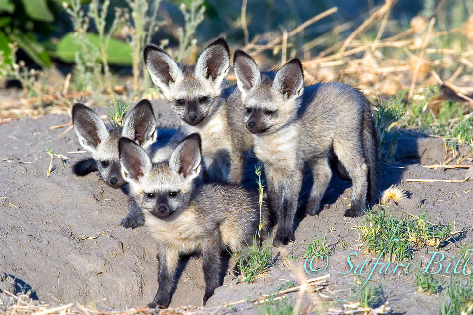 Bat Eared Fox, Linyanti, Botswana