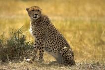 Cheetah_SerengetiNationalPark_Tanzania