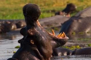 Hippo, Linyanti, Botswana