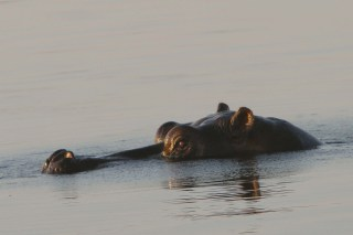 Hippo, Queen Elizabeth National Park, Uganda