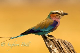 Lilac Roller, Linyanti, Botswana