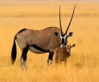 Oryx, Etosha Pan, Namibia