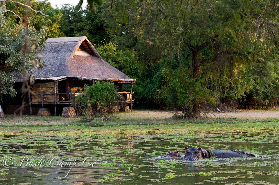 Hippos at Mfuwe Lodge