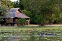 Hippos at Mfuwe Lodge