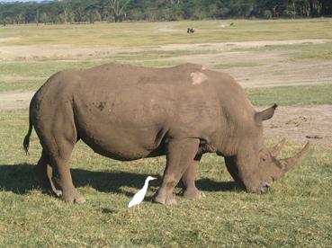 Rinocerónte blanco en el lago Nakuru. Kenya, septiembre de 2006