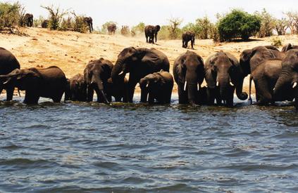 Elefantes en Chobe.Carol