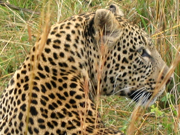Leopardo. Masai Mara, Kenya, septiembre de 2005