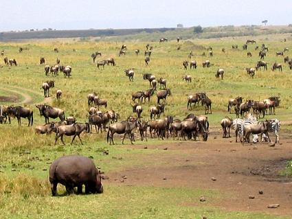 La gran migración y un hipo! Masai Mara. Septiembre de 2005