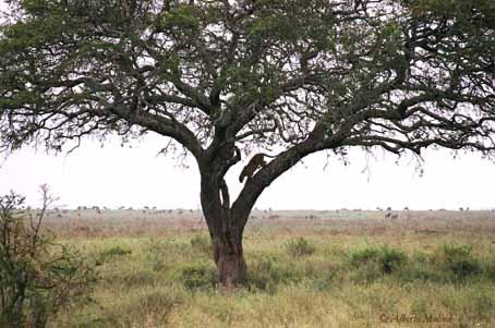 Leopardo enSerengeti