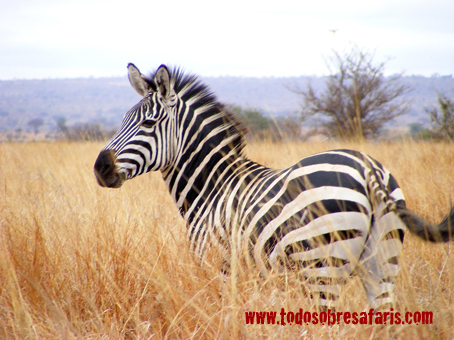 Cebra de Burchell. Tarangire, Tanzania. Septiembre de 2007