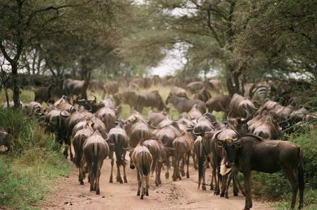 Migración en Seronera
