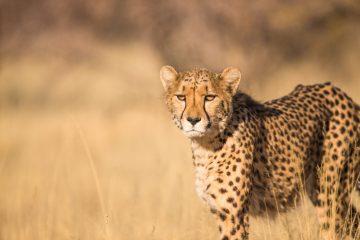 Gepard unterwegs