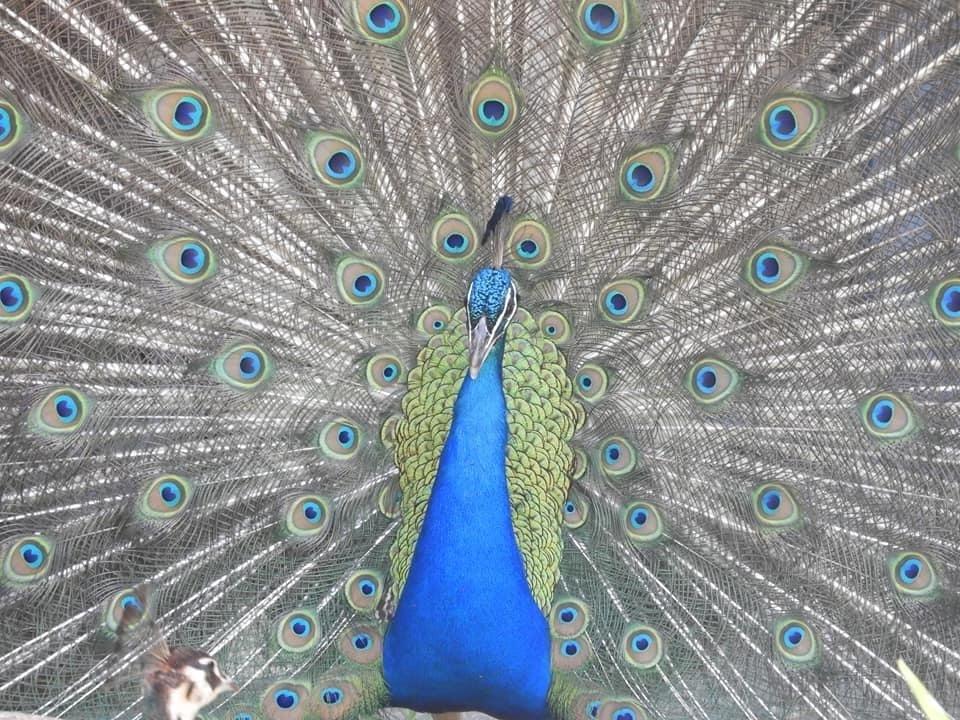 Pfau Peacock