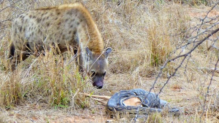 Auch Hyänen sind auf Wanderung auf der Suche nach Fressen