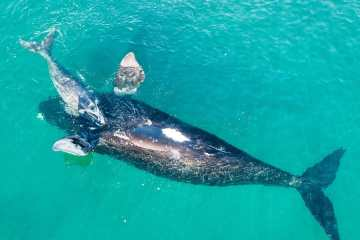 Südkaper Southern Right Whale