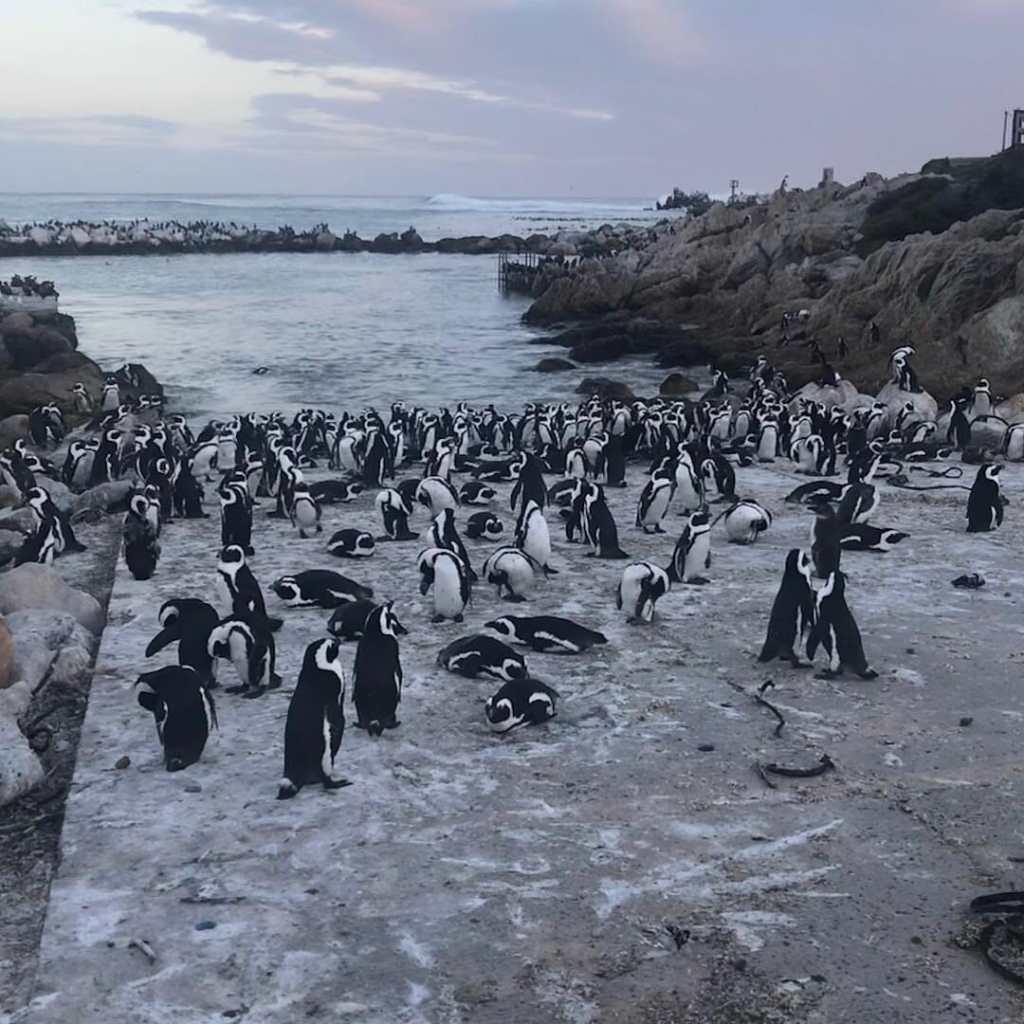 Pinguin Afrikanischer Brillenpinguin