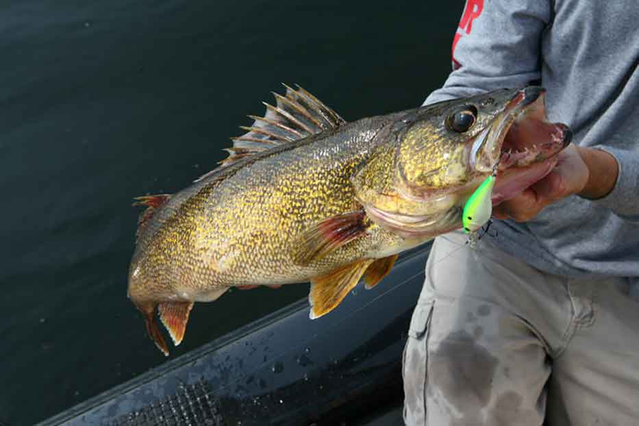 What is Walleye