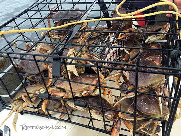Check Weight of the Crab Traps