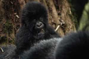 Best gorilla safari time Bwindi uganda