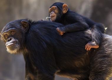 Cute Baby And Mom Wallpaper Chimpansen Safari Tanzania