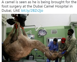 camel caption