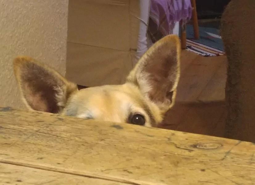Shiloh's ears