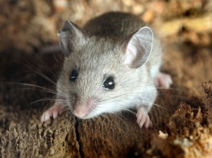 rodents-mouse-Mice-rats-pest-control.jpg